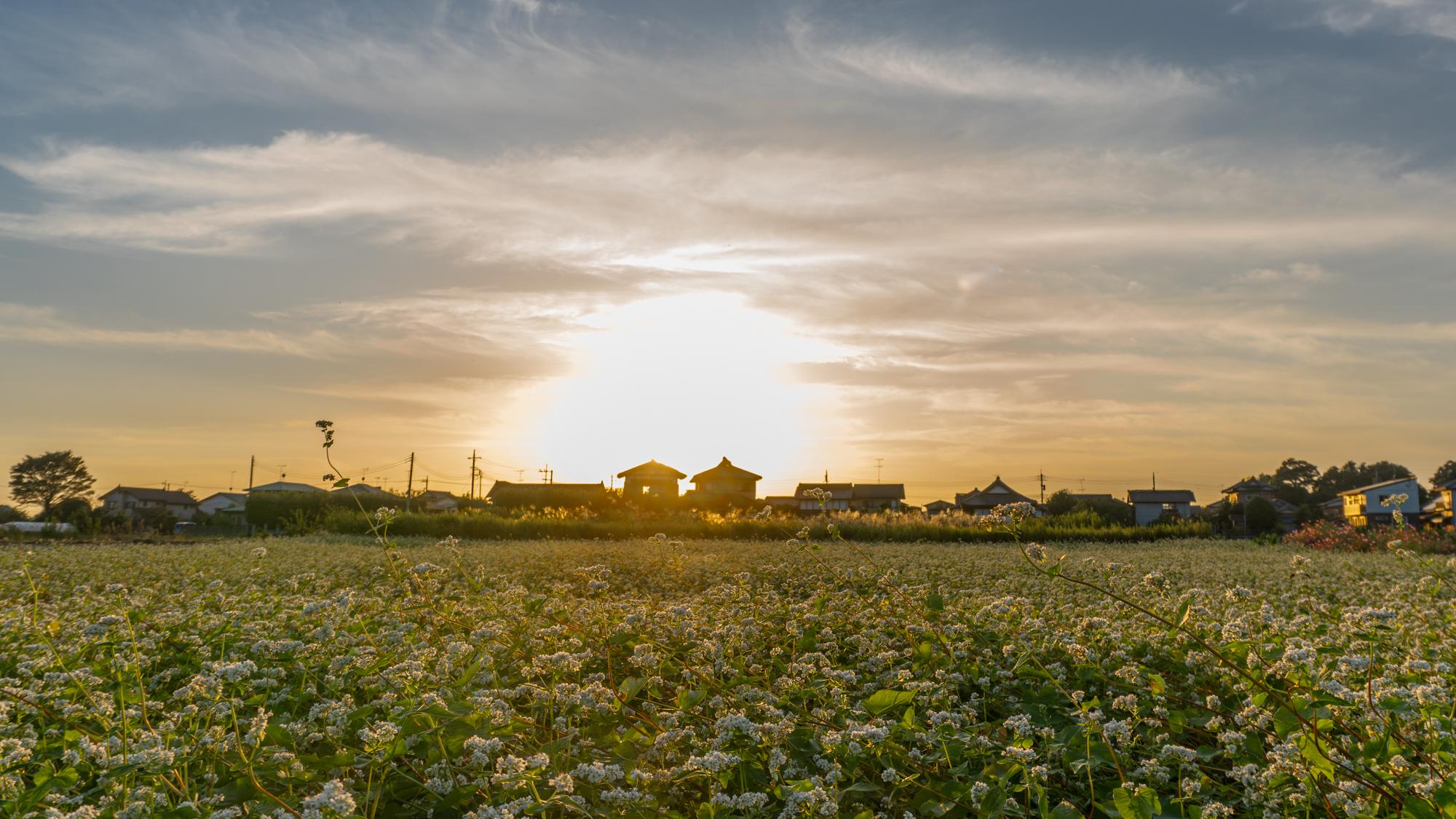 そば畑(秋)